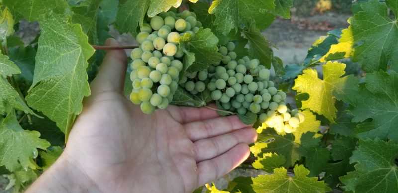 Grapes at Thurston Wolfe
